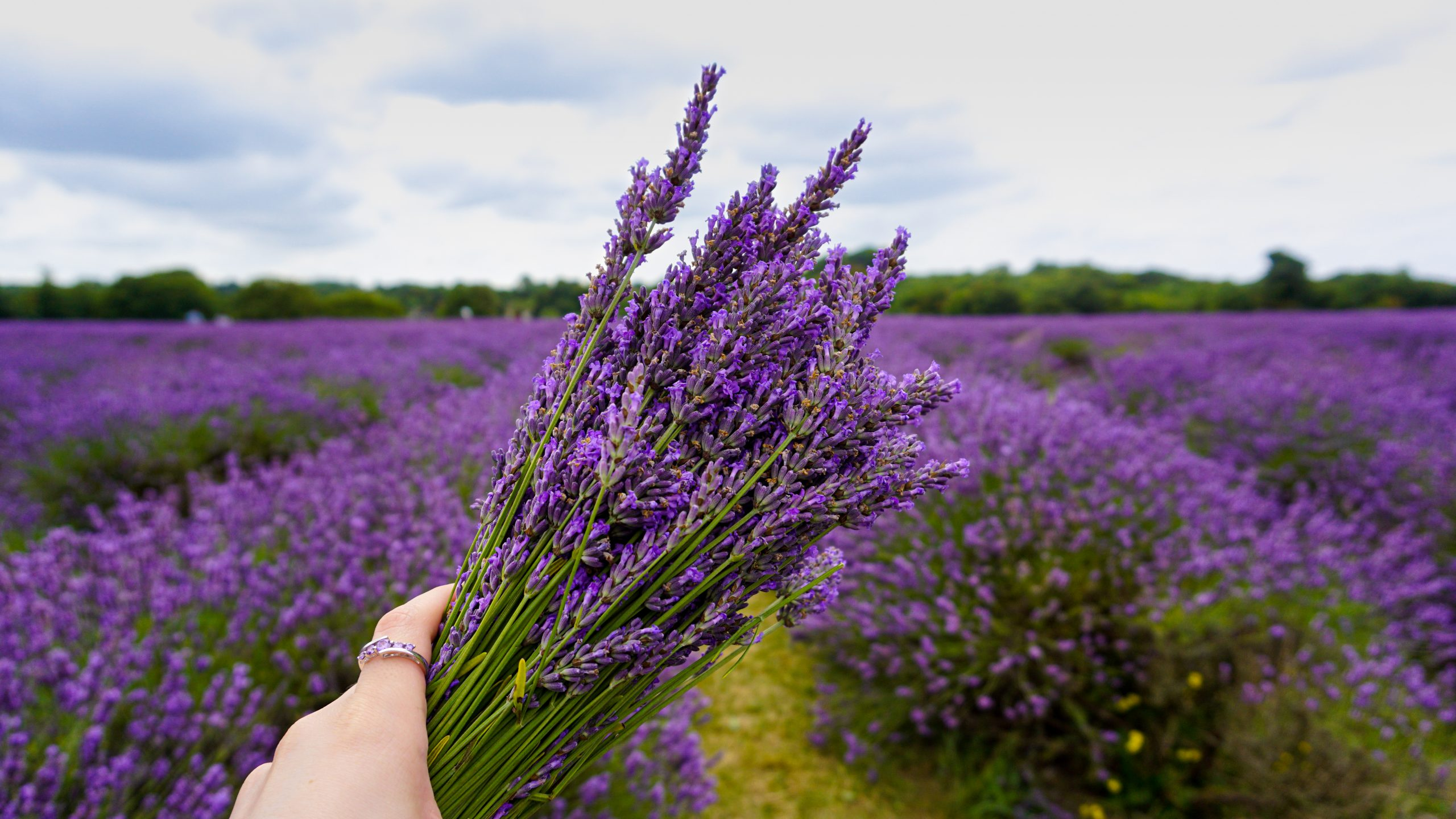 Read more about the article The Best Lavender Field in London: Mayfield Lavender Farm