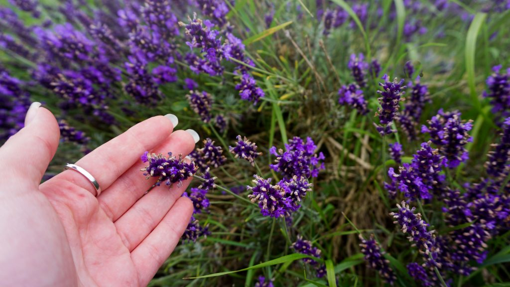 Lavender at Mayfield Lavender Farm