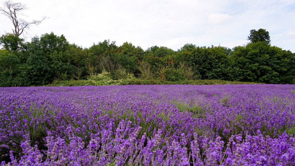 Lavender at Mayfield Lavender Field London