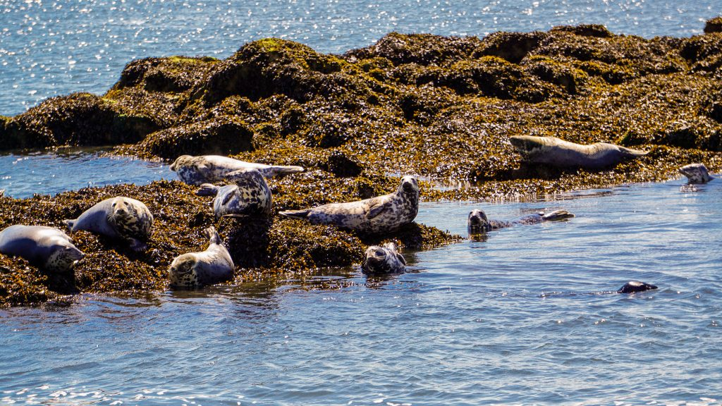 Seals in the Firth of Forth